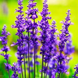 Gói 100 Hạt giống hoa oải hương MUA ĐỂ NHẬN QUÀ NÀO (MUA TỪ 50K 1 ĐƠN HÀNG TẠI SHOP ĐỂ ĐƯỢC TẶNG 2 SP KHÁC)