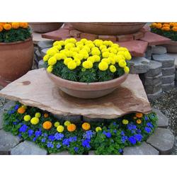 [TRỢ GIÁ] COMBO 02 gói hạt giống hoa cúc vạn thọ mỹ tặng kèm 1 phân bón EEFY1