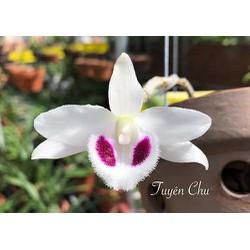 Cốc phi điệp 5 cánh trắng Bạch tuyết (5ct)- hàng gieo hạt – hoa xổ số – hoa siêu đẹp giá rẻ