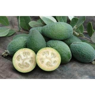 cây giống ổi dứa [ĐƯỢC KIỂM HÀNG] 31934370 - 31934370 thumbnail
