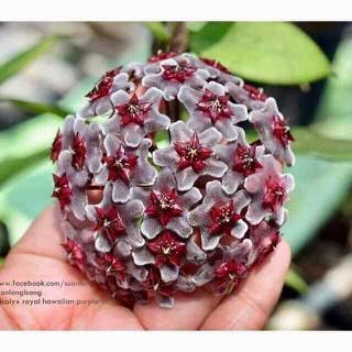 Hoa lan cẩm cù Royall Hawaiian Purple (1 chậu) - 006 thumbnail