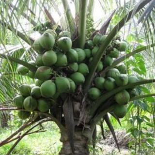 combo 2 cây dừa xiêm lùn - dừa xiêm thumbnail