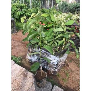 cây giống na dứa - MA001 thumbnail