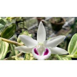 Cốc phi điệp 5 cánh trắng NGƯỜI ĐẸP BÌNH DƯƠNG (5ct)- hàng gieo hạt – hoa xổ số – hoa siêu đẹp