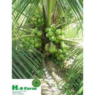 Cây dừa xiêm lùn H2O Farm - dũaiem thumbnail