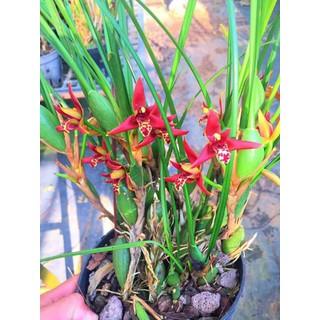 hoa phong lan tóc tiên hương dừa - coconut thumbnail