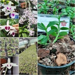 Cốc lan phi điệp đột biến 5 cánh trắng CHUMORAY (5CT), hoa cực đẹp, cực hiếm, hàng gieo hạt, cây y hình