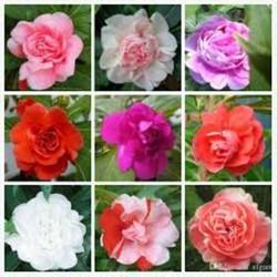Gói 50 hạt giống hoa móng tay nhiều màu- MUA ĐỂ NHẬN QUÀ NÀO (MUA TỪ 50K 1 ĐƠN HÀNG TẠI SHOP ĐỂ ĐƯỢC TẶNG 2 SP KHÁC)