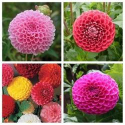 40 hạt giống hoa thược dược tổ ong MUA ĐỂ NHẬN QUÀ NÀO (MUA TỪ 50K 1 ĐƠN HÀNG TẠI SHOP ĐỂ ĐƯỢC TẶNG 2 SP KHÁC)