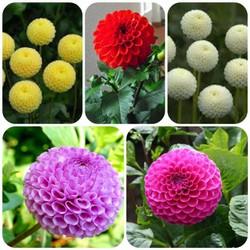 200 hạt giống hoa thược dược tổ ong MUA ĐỂ NHẬN QUÀ NÀO (MUA TỪ 50K 1 ĐƠN HÀNG TẠI SHOP ĐỂ ĐƯỢC TẶNG 2 SP KHÁC)