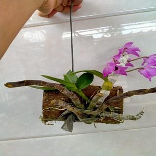 Hoa lan trầm tím điện biên cây đẳng cấp, cao 20cm [ĐƯỢC KIỂM HÀNG] 32997311 - 32997311 thumbnail