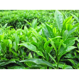 Combo 10 Cây Trà Xanh Thái Nguyên - TRA10 thumbnail