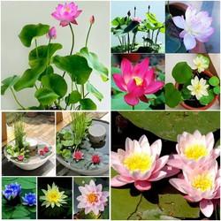 Big Sale – Hạt giống hoa sen nước mini nhật (Gói 4-5 hạt) chất lượng cao – Tặng kích mầm & Tài liệu HD gieo trồng
