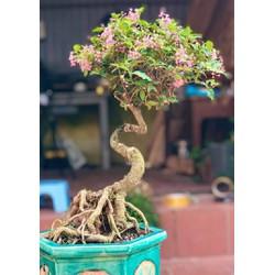 Cây hồng ngọc mai bonsai