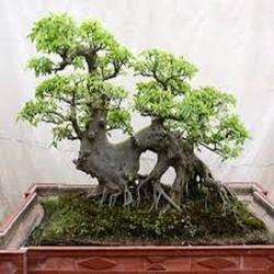 CHI TIẾT SẢN PHẨM Cây sung Cây sung hay còn được gọi là tụ quả dong hoặc ưu đảm thụ. Cây sung là một loài cây thường được thấy nhiều ở các làng quê, nhất là ở các vùng có đất ẩm như bìa rừng ven sông, suối, ao hồ. Cây sung với người việt có tính phon