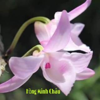 CHẬU HOA LAN PHI ĐIỆP HỒNG MINH CHÂU CÂY GIỐNG CẤY MÔ SIÊU ĐẸP - 702 thumbnail