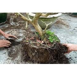 Bộ 5 sản phẩm chăm sóc chuyên kích ra rễ sau khi bứng cây, thay chậu, cắt tỉa cành, cây còi không phát triển dành cho cây mai và cây kiểng khác