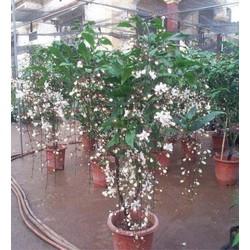 Cây Hoa dạ ngọc minh châu hoa của ngày tết đang nụ