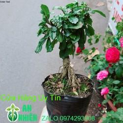 Cây Trà Phúc Kiến Bonsai Mini