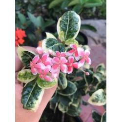 (1 chậu) Cây bông trang cẩm thạch lá trung ( hoa mẫu đơn ) - cao 10-15cm