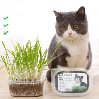 Cỏ mèo tươi. Cỏ nếp dành cho chó mèo. Hương vị tự nhiên. Kích thích tăng trưởng và bảo vệ hệ tiêu hóa thú cưng - co cho meo thumbnail