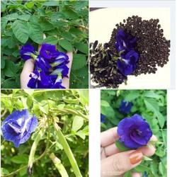 Hạt giống hoa đậu biếc hoa kép - Gói 20 hạt