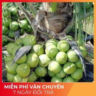 [SALE] Cây dừa xiêm lùn (ảnh thât 100%) -Tặng Kèm Phân Bón - 2438_48887001 thumbnail
